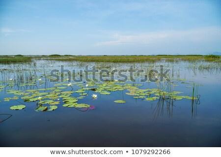 Many water lilies on water surface Stock photo © bezikus