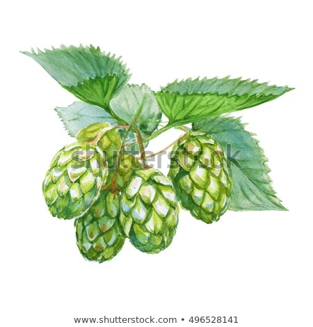 Hop on white background. Watercolor illustration Stock photo © ConceptCafe