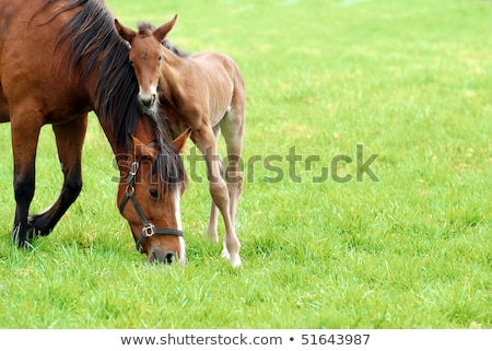 Stock photo: Adult mother horse with her foal on a pasture