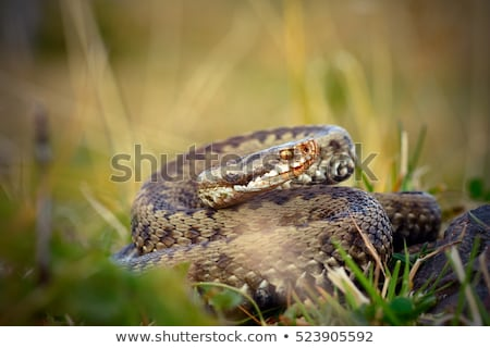 femenino · europeo · listo · huelga · ojo · serpiente - foto stock © taviphoto