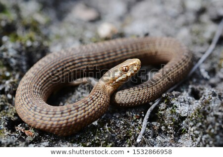 Juvenil venenoso europeu serpente nariz Foto stock © taviphoto