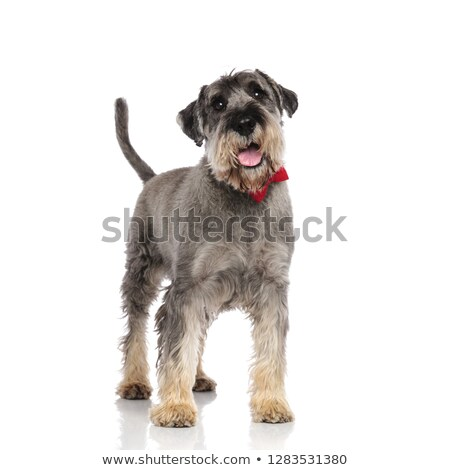 adorable schnauzer wearing a red bowtie pants while standing Stock photo © feedough
