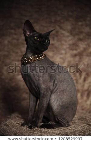 Szürke ülő macska arany nyaklánc külső Stock fotó © feedough
