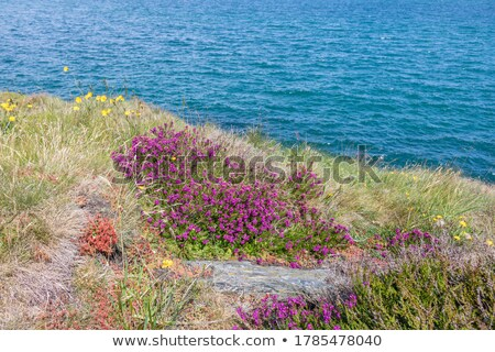 Mor İrlandalı çalı örnek çiçek doğa Stok fotoğraf © colematt
