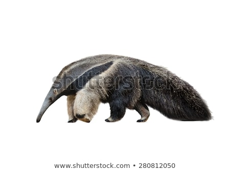 Ant eater Stock photo © colematt