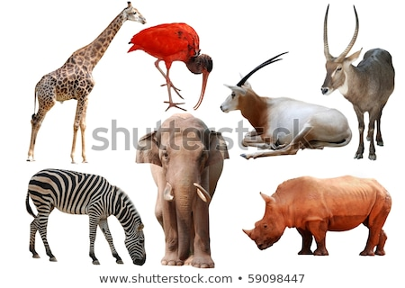 Three rhinos in nature on white background Stock photo © bluering