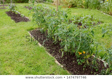 Tomate cherry plantas creciente rojo alerta Foto stock © sarahdoow