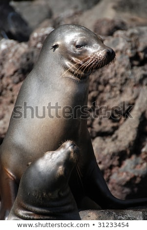 Galapagos Sea Lions on Galapagos Islands - Sea lion pup and adult Stock photo © Maridav