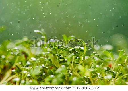 świeże wybór mikro zielenina zielone pozostawia Zdjęcia stock © furmanphoto