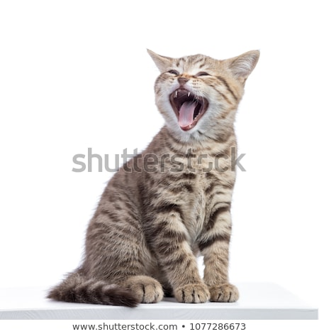 Cat yawning with mouth open and eyes closed Stock photo © CsDeli