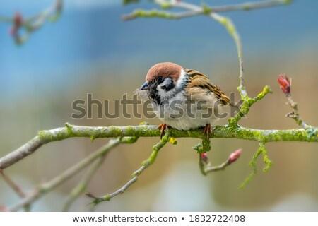 ツリー スズメ 素材 巣 クローズアップ ストックフォト © manfredxy