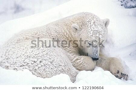 Jegesmedve hóvihar sétál égbolt természet tél Stock fotó © solarseven
