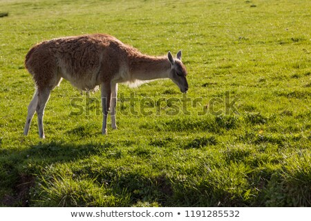 Llama eating grass Stock photo © photoblueice