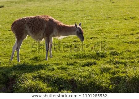 llama · funny · primer · plano · retrato · zoológico · naturaleza - foto stock © photoblueice