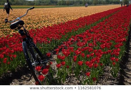 Fiets veld tulpen paars natuur landschap Stockfoto © duoduo