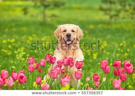 veld · gouden · Geel · tulpen · holland · natuur - stockfoto © duoduo