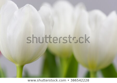 Single white tulip in a field of yellow flowers stock photo © duoduo
