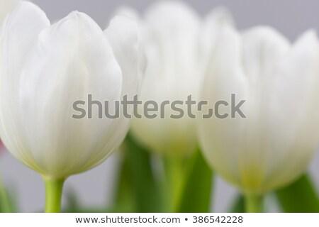 Stockfoto: Witte · tulp · veld · gele · bloemen · holland · voorjaar