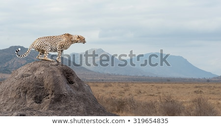 Afrika çita Afrika Kenya aile Stok fotoğraf © Anna_Om