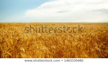 Closeup photo of a golden wheat in field stock photo © HASLOO