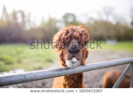 barna · mögött · kerítés · profil · fából · készült · arc - stock fotó © tepic