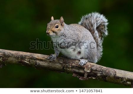 Grijs eekhoorn boom lidmaat dier bos Stockfoto © brm1949