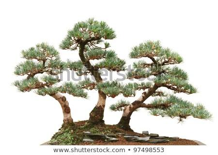 три соснового бонсай деревья красивой дерево Сток-фото © Antonio-S