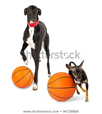 Greyhound dog and toy dog  with a basketballs Stock photo © vlad_star