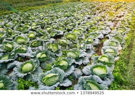 Stock photo: fresh green cabbage