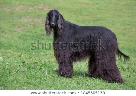Afgan hound Stock photo © CaptureLight