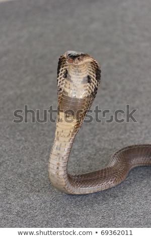 kobra · yılan · hazır · grev · uyarmak - stok fotoğraf © kittasgraphics