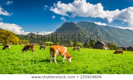 alpine mountain cows eating grass stock photo © vwalakte