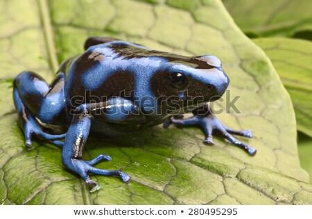 poison arrow frog stock photo © kikkerdirk