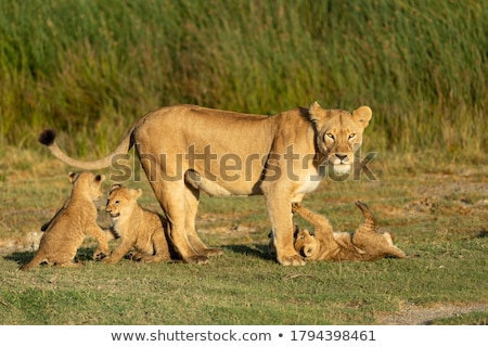 Lioness alert Stock photo © KMWPhotography