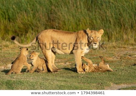 Lioness alert Stock photo © KMWPhotography