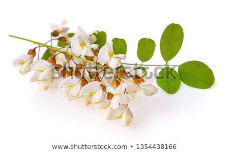 Blossoming acacia Stock photo © Masha