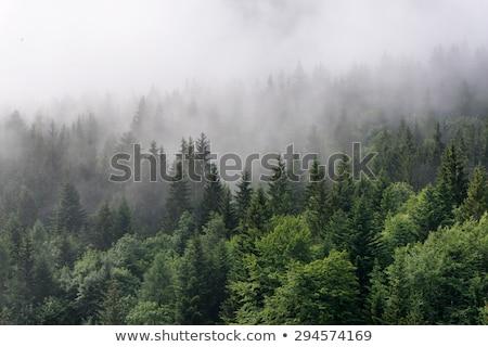 Sűrű dombok buja zöld magas fenyőfa Stock fotó © jkraft5