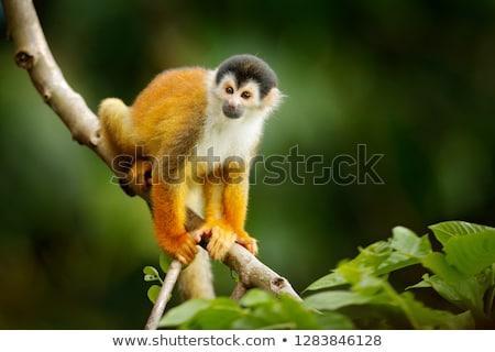 Scoiattolo scimmia albero ramo occhi Foto d'archivio © Elenarts