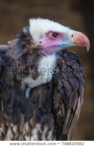 Vulture, White headed - Wild Scavengers from Africa. Stock photo © Livingwild