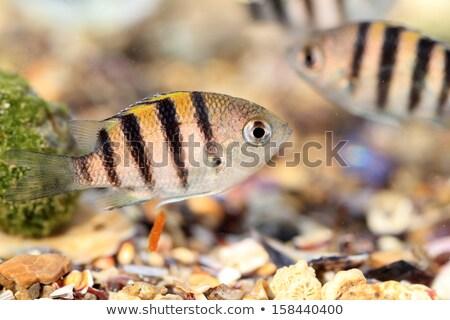 сержант группа рыбы пейзаж лет океана Сток-фото © pop_araks