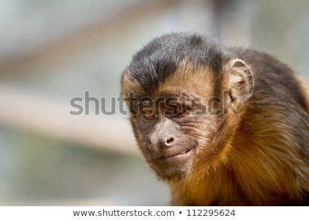 Close-up of a monkey smiling with  devious look Stock photo © pxhidalgo