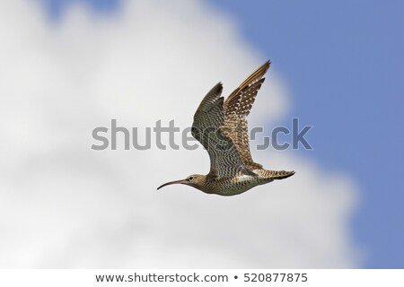 Whimbrel (Numenius Phaeopus) in flight Stock photo © davemontreuil