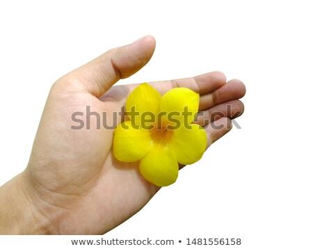 手 黄色 花 自然 手 ストックフォト © antonihalim