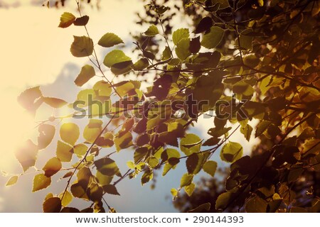 sunlight coming through tree branches with yellow leaves closeup stock photo © guycalledsale