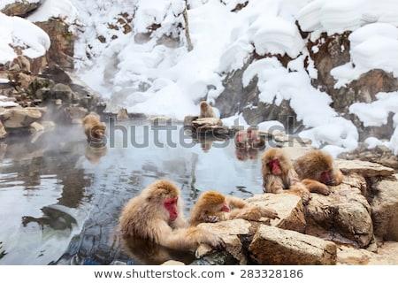 Maymun park oynama Stok fotoğraf © rhamm