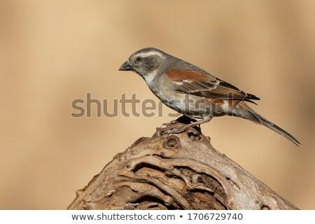 serçe · küçük · kuş · oturma · çit · hayvan - stok fotoğraf © dirkr