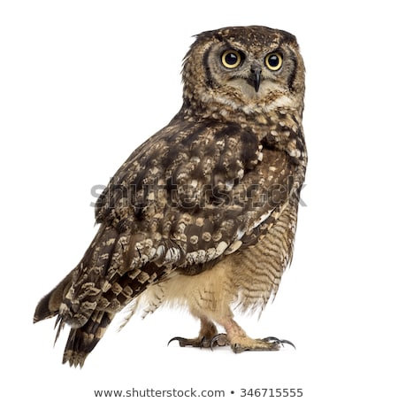 Spotted Eagle-owl (Bubo africanus) Stock photo © dirkr
