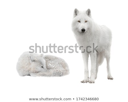 Arctic wolf  (Canis lupus arctos) Stock photo © chris2766
