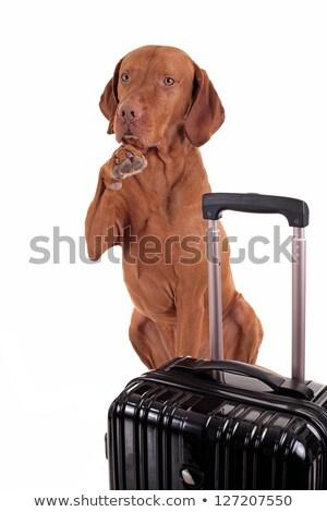 integet · kutya · aranyos · fehér · állat · díszállat - stock fotó © quasarphoto
