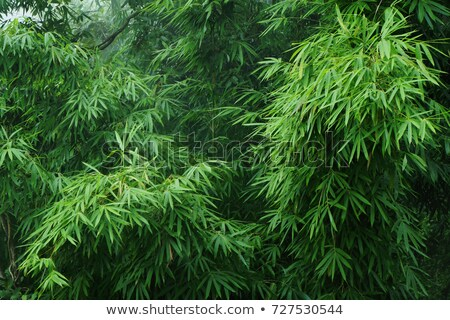 bamboo thickets Stock photo © tracer